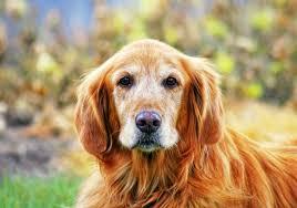 Comfort Golden Catering To Comfort Pet Product News September 2017