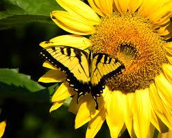 butterfly on sunflower a photo from carolina south trekearth