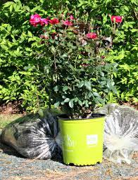 new knock out roses u2013 home garden joy