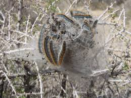 tent caterpillar wikipedia