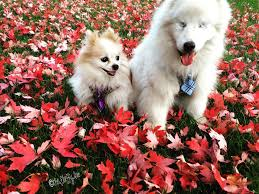 Blind Dog And Friend Blind Dog U0027s Best Friend Is A Tiny Seeing Eye Pomeranian Rover Com