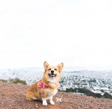 corgi cooper bear the corgi home facebook