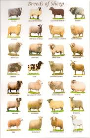 746 best sheep images on pinterest sheep animals and babydoll sheep