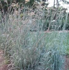 buy ornamental grasses direct from sooner plant farm