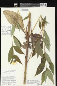 plants native to wisconsin online virtual flora of wisconsin helianthus tuberosus