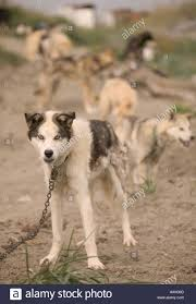 eskimo sled dogs chained up on the island community of shishmaref