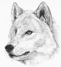 wolf sketch by hibbary on deviantart