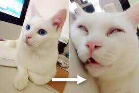 Sleeping Cat Meme - the cat with the ugliest sleeping face in japan