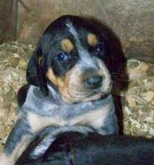 bluetick coonhound cost rocky mountain blue tick puppies rocky mountain blue ticks