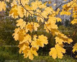 maple tree symbolism yellow maple branches