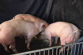 super muscly pigs created small genetic tweak nature