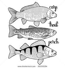 freshwater fish stock images royalty free images u0026 vectors