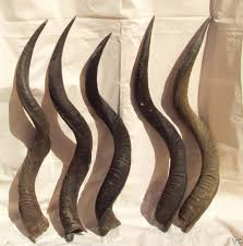 shofars for sale kudu horns for sale to make shofars 30 to 34 inch
