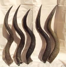 shofars for sale kudu horns for sale to make shofars 30 to 34 inch