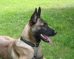 belgian sheepdog varieties malinois belgian shepherd all about dogs