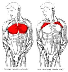 Muscles Used During Bench Press The Pushup That Builds Maximum Muscle