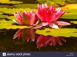 Quail Botanical Gardens Encinitas California Water Lilies In A Pond Quail Botanical Gardens Encinitas San