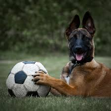 belgian malinois markings belgian malinois they have the best smiles malinois