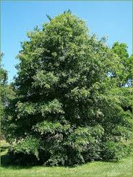 your st louis tree