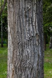 thick tree trunk closeup stock photo picture and royalty free