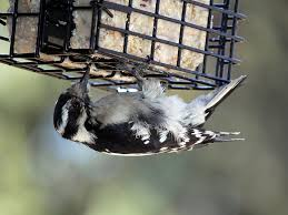 Backyard Birds Store by How Suet Helps Your Back Yard Birds During The Fall Months The
