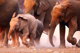 elephant culture