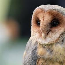 The Barn Owl Carol Stream 35 Best Hawks Images On Pinterest Hawks Birds Of Prey And Animals