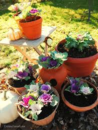 winter gardening ornamental cabbage and flowering kale