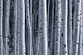 Wall Mural White Birch Trees Silver Birch Forest Wallpaper Wall Mural Muralswallpaper Co Uk