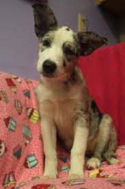 d b australian shepherds meet belle a petfinder adoptable australian shepherd dog saint