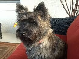 brindle cairn haircut 997 best cairn terrier three images on pinterest cairn terrier