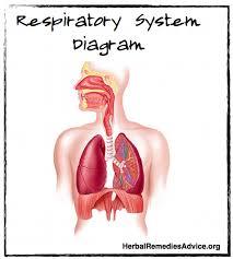 Human Anatomy Respiratory System Respiratory System Overview