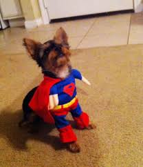 Yorkie Halloween Costumes 28 Boy Yorkie Halloween Costumes Awesomely Cute Animals