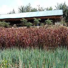 ornamental grass flower seeds seeds