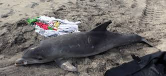 2013 2015 bottlenose dolphin unusual mortality event in the mid