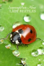 How To Find Ladybugs In Your Backyard 7 Surprising Facts About Lady Beetles Empress Of Dirt
