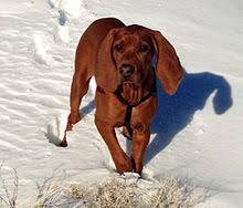 bluetick coonhound and bloodhound mix redbone coonhound wikipedia