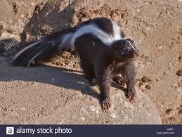 skunks stock photos u0026 skunks stock images alamy