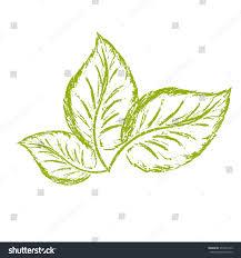 sketch logo three green basil leaves stock vector 373242715