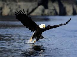 stellers sea eagle wallpapers 98 best eagles images on pinterest birds of prey bird and eagle