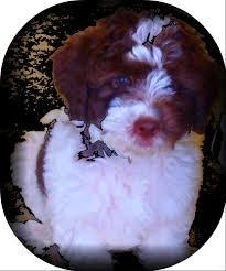 american eskimo dog rescue wichita ks bias ranch california big dog labradoodles mini medium and