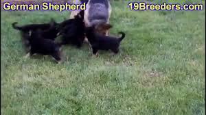 lexus for sale honolulu german shepherd puppies for sale in east honolulu hawaii hi