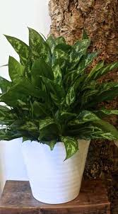 chinese evergreen amazing indoor plants with ceramic pot