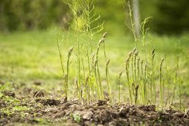 how to plant asparagus modern farmer