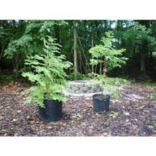 wholesale redwood trees for sale in michigan cold farm