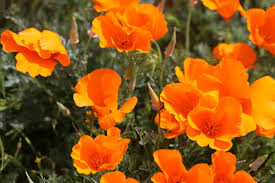 california poppies they u0027re here luvwhereulive