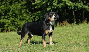 Table Mountain Animal Shelter by Entlebucher Mountain Dog Breed Information