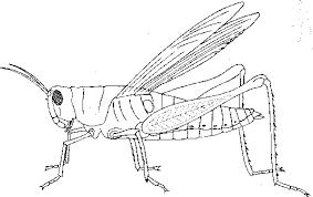 grasshopper dissection biology junction