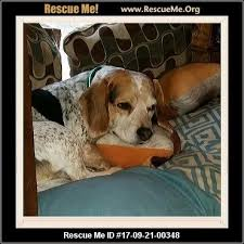 bluetick coonhound puppies for sale in ohio ohio bluetick coonhound rescue u2015 adoptions u2015 rescueme org