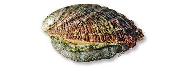 cuisiner des ormeaux ormeau guide des espèces